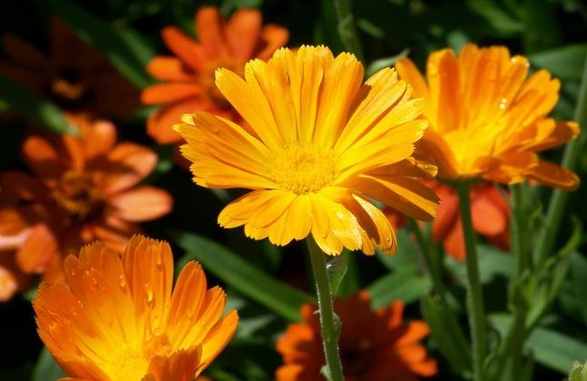 daisy-17906_960_720